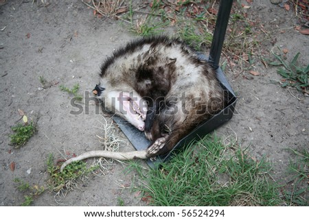 Opossum either dead or playing possum on a scoop tool