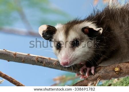 Opossum on a Tree Branch