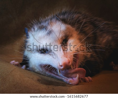 opossum with tongue sticking out