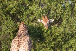 Optical illusion image of two giraffe on either side of a bush, appearing to be one super long necked animal.