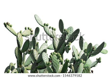 Opuntia cactus isolated on white background. Cactus field. Sabres, fruits of Opuntia ficus-indica. Barbary fig, cactus pear, spineless cactus or prickly pear.