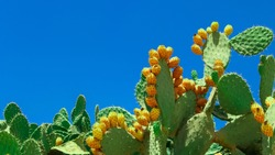 Opuntia cactus (prickly pear) plant on blue sky background