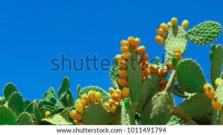 Opuntia cactus (prickly pear) plant on blue sky background #1011491794