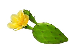 Opuntia cactus (prickly pear) with yellow flower isolated on white background