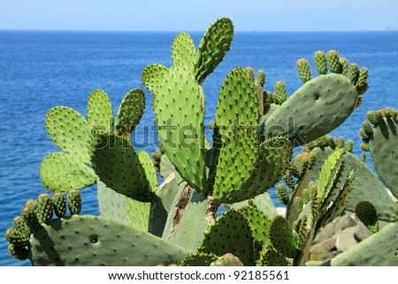 Opuntia ficus-indica ( called also as Indian fig opuntia, barbary fig,  prickly pear ) and blue sea on the background, Italy