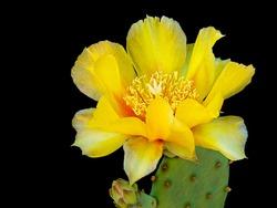 Opuntia ficus-indica. Indian fig cactus flower.