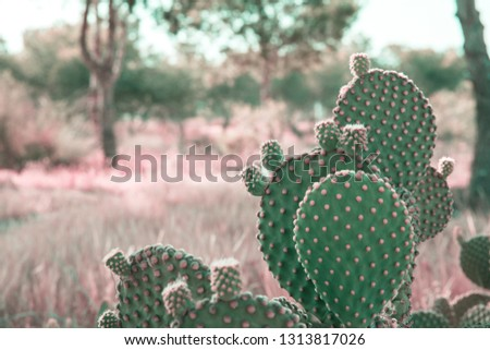 Opuntia Microdasys cactus in prairies landscape background with field grass trees. Beautiful tranquil idyllic nature scene. Vintage film effect pink toned. Soft pastel colors. Copy space