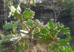 Opuntia monacantha, commonly known as drooping prickly pear, cochineal prickly pear, or Barbary fig, is a species of plant in the family Cactaceae.