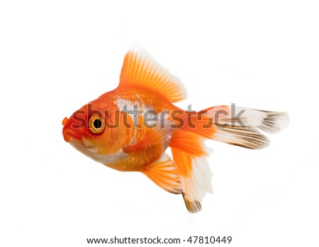 Oranda goldfish over white background