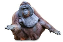 Orang utan / Orangutan sitting shot over white background