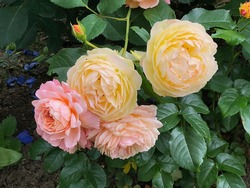 Orange and apricot blend color Modern Shrub Rose Andre Turcat and Yellow color Modern Shrub Chateau de Cheverny flower in a garden in July 2020