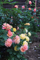 Orange and apricot blend Modern Shrub Rose Andre Turcat and Yellow colour Modern Shrub Rose Chateau de Cheverny flower in a garden in July 2020