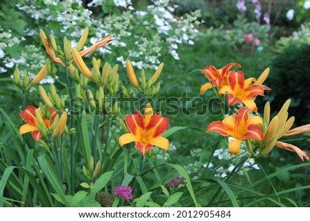 Orange and apricot color flowers of daylily Frans Hals in a summer garden. Stok fotoğraf ©