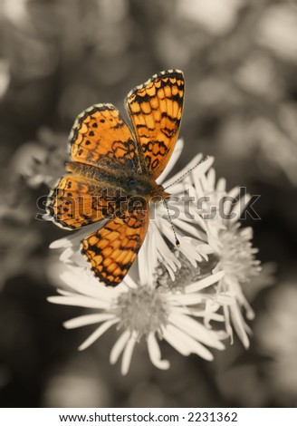 Orange and black butterfly in black and white background