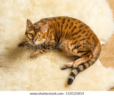 Orange and brown bengal kitten cat playing on a wool rug