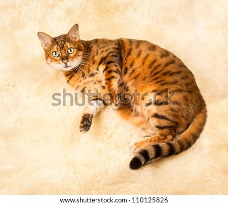 Orange and brown bengal kitten cat playing on a wool rug