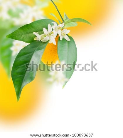 Orange and flower growing.  Design border  over white