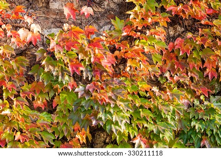 orange and green leaves on a old stone wall #330211118