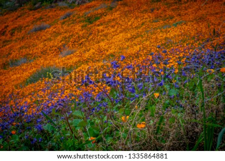 Orange and purple flowers covering a hillside during the super bloom in California.