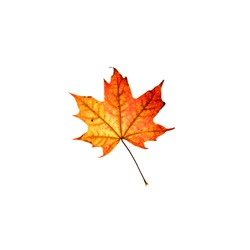 Orange and red maple leaf isolated on white background. Bright flower top view. Autumn flora. Plant on color table concept