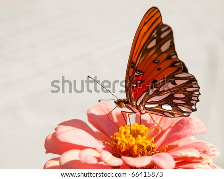 Orange and silver Agraulis vanillae butterfly feeding on a  flower against light background