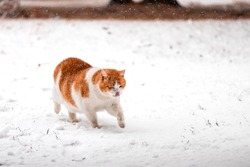orange and white cat walking outside in the snow licking his nose