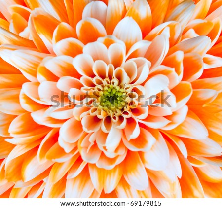Orange and White Chrysanthemum Flower Centre Closeup. Beautiful Dahlia Flowerhead Macro