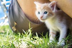 Orange and white kitten with blue eyes next to someone