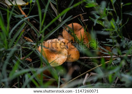 Orange and white mushrooms in the grass. Mushroom growing in the Autumn Forest near old log. Mushroom photo, forest photo. Group of beautiful mushrooms in the moss on a log.