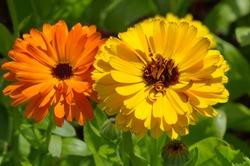 Orange and yellow calendula (lat. Calendula officinalis) close-up