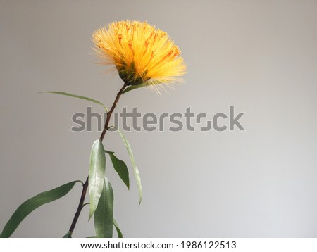 Orange and yellow flower of the Stifftia chysantha plant which is a native species of Brazil. Also called Diadema or Esponja de Ouro in Portuguese, translated to Diadem or Golden Sponge in English Foto stock ©