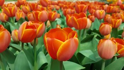 Orange and yellow tulips background. Orange tulips against green foliage background.  Orange tulips background. Bicolor Darwin hybrid tulips. Orange floral background. Floral greeting card.