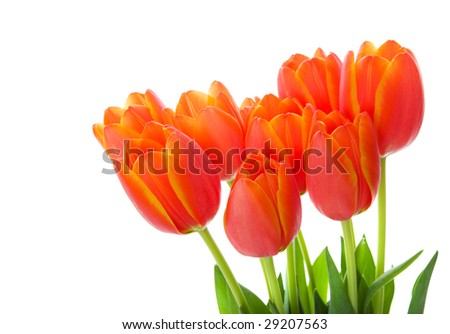 Orange and yellow tulips on a white background