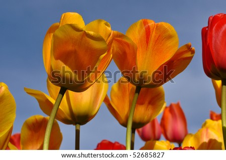 Orange and Yellow Tulips with Green Stems and Blue Sky