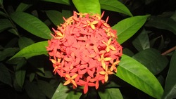 orange asoka flowers in the backyard last night