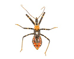 Orange Assassin Bug Nymph top down view isolated on white background, characterized by white spot on its back.