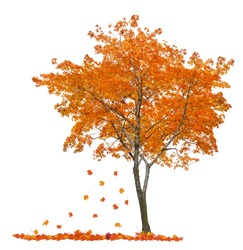orange autumn maple tree isolated on white background