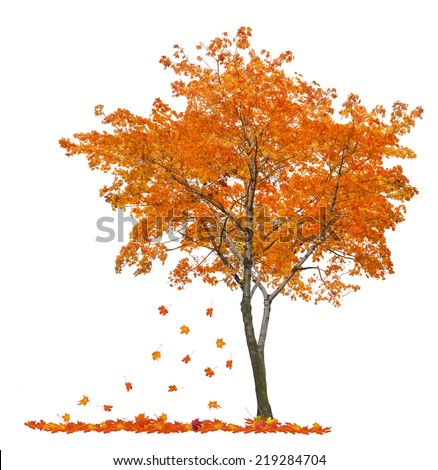 orange autumn maple tree isolated on white background #219284704