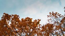 Orange autumn tree tops infront of a blue sky.