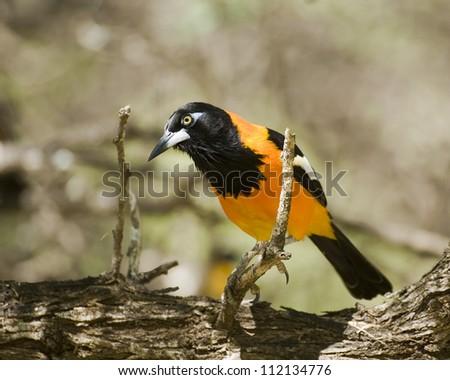 Orange-backed Trupial perching on tree, close-up
