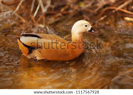 Orange beautiful duck on the water. Portrait of the duck in the park. Cute brown animal. Park. Autumn. Moscow. Russia