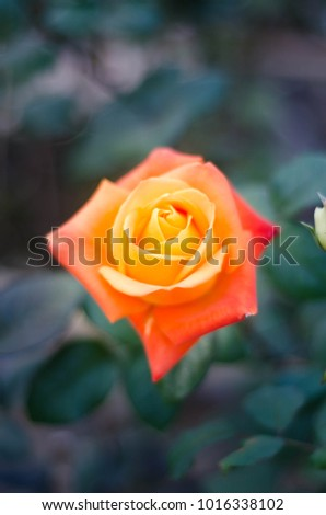 Orange beautiful rose growing in the garden with selective focus #1016338102