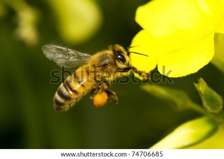 orange bee flying to a yellow flower
