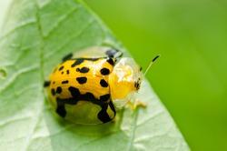 orange beetle in green nature or the garden