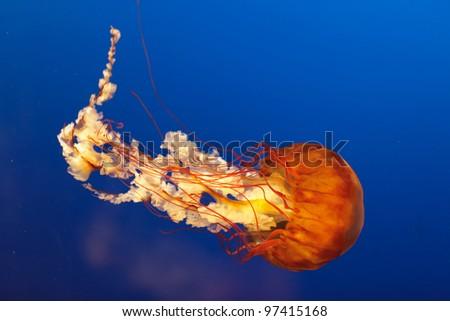 orange bell jellyfish in Osaka aquarium, Japan - stock photo