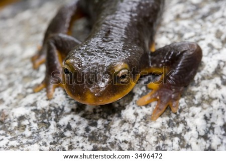 Orange belly newt macro