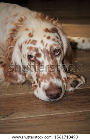 Orange Belton English Setter dog resting in his home on hardwood floor remaining watchful, pensive while at rest