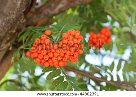 Orange berries on a mountain ash tree in summer stock photo 44802391