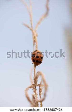 Orange, black dotted ladybug crawling down a maize flower. #1382687426