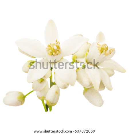 Orange blossom. Orange  tree flowers on a branch close-up isolated on white background
